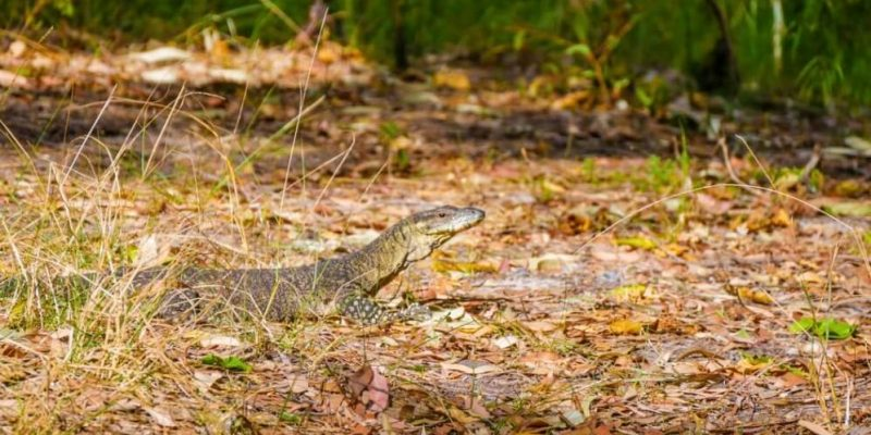 lizard camping